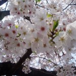 Tokyo x Sakura (Cherry Blossom) = Beautiful Hanami