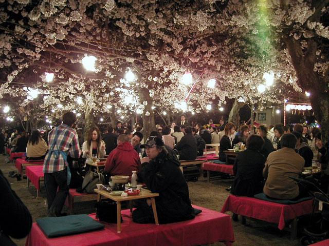 Cherry Blossom Festival Japan Night Cherry Blossom Festival in
